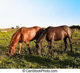 pferden, sonnig, zwei, feld, streifen, tag