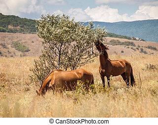 pferden, stehende , sommer, zwei, essen, feld, heiß, tag