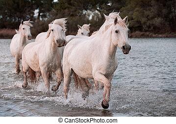 pferden, weißes, camargue, france.