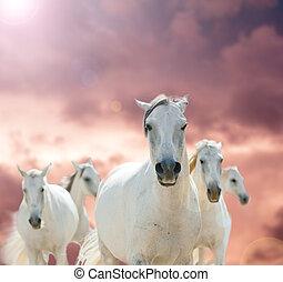 pferden, weißes