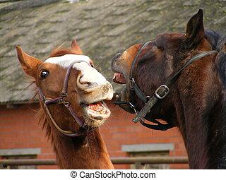 pferden, zwei, kämpfen
