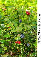 pflanze, 01, blaubeere