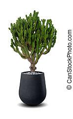 pflanze, aus, freigestellt, cereus, eingetopft hat, kaktus, weißes