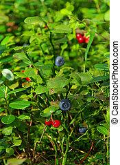 pflanze, blaubeere, 08