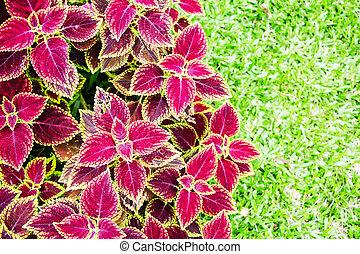 pflanze, coleus, auf, hintergrund, schließen, rotes