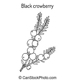 pflanze, crowberry, empetrum, essbare , schwarz, nigrum, ...