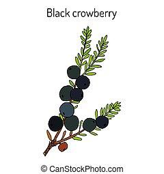 pflanze, crowberry, schwarz, empetrum, medizinisch, nigrum