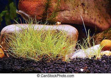 pflanze, dekorativ, groundcover, steine, hintergrund, eleocharis, aquarium