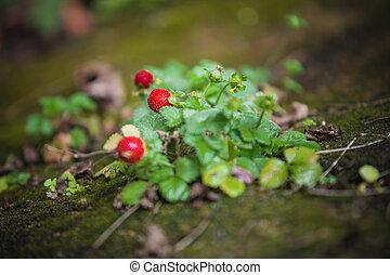 pflanze, erdbeer, fruechte, grün, blättert, wild, rotes