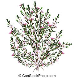 pflanze, geraldton, wachs