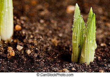 pflanze, grün, setzling