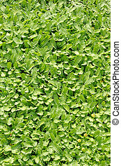 pflanze, groundcover