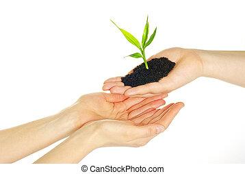 pflanze, hände