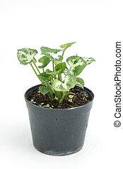 pflanze, haus, freigestellt, hintergrund, weißes, eingetopft hat