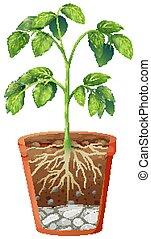 pflanze, hintergrund, topf, freigestellt, grün