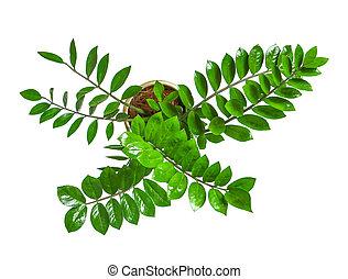 pflanze, houseplant, oberseite, weißes, -, zamioculcas, freigestellt, eingetopft hat, aus, ansicht