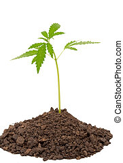 pflanze, marihuana