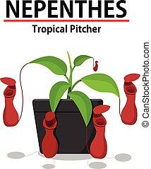 pflanze, nepenthes, topf, freigestellt, weiß rot