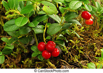 pflanze, preiselbeere, pflanze, 16, -, cowberry