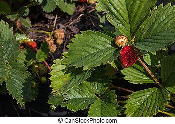 pflanze, reif, fruit., fokus, erdbeer, wahlweise, grün, blättert, wild, rotes