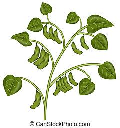 pflanze, sojabohne