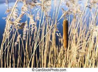pflanze, stöcke, wasser, sumpf, schilfgras, cattails