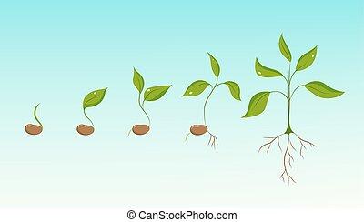 pflanze, wachstum, evolutionsphasen, von, bohne, samen, zu,...