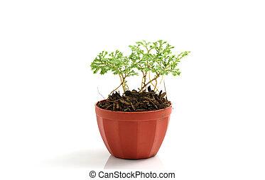 pflanze, weißer hintergrund, freigestellt