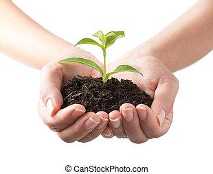 Pflanze,  -, weißes, hintergrund, Hände