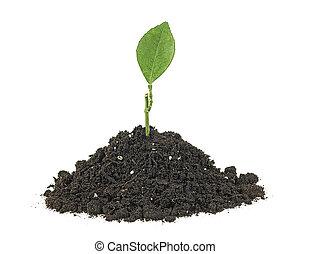 pflanze, weißes, pflanzenkeim, grün, freigestellt, hintergrund, haufen, schmutz