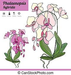 pflanze, zimmer, exotische , phalaenopsis, color., ...