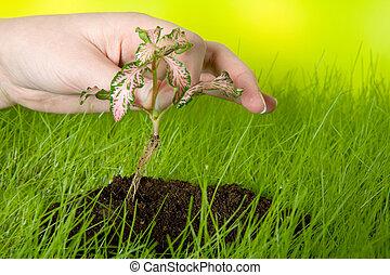 pflanzen, a, setzling