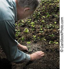 pflanzen, pachysandra, groundcover