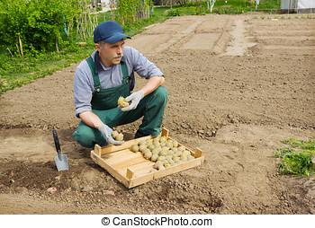 pflanzen, seine, kleingarten, kartoffeln, älterer mann, energisch