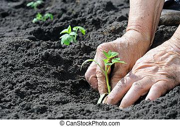 pflanzende tomaten, setzling
