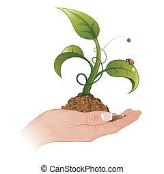 pflanzenkeim, frauenhände
