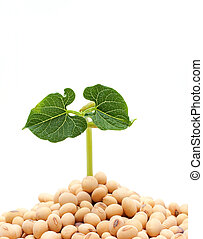 pflanzenkeim, weißer hintergrund, freigestellt, sojabohne
