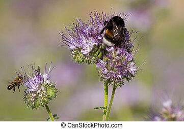 phacelia, flor, abejorro