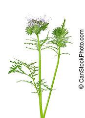 phacelia, florecer