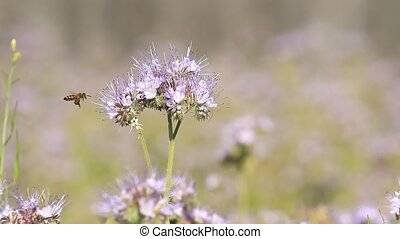 Phacelia flowers blossom and pollinate bee