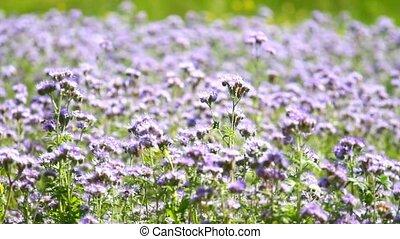 Phacelia tanaceifolia flowers blossom and honey bees