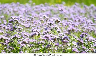 Phacelia tanaceifolia flowers blossom and honey bees