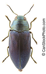 phaenops, cyaneus