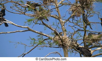 Phalacrocorax carbo. Great Black Cormorant. - Cormorant...
