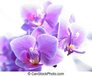 phalaenopsis, 蘭花