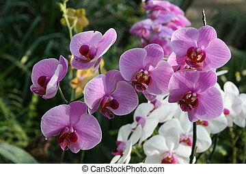 phalaenopsis, dziki, amant, 'diane', plantacja, storczyk