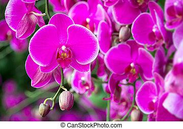 phalaenopsis, flor, orquídea