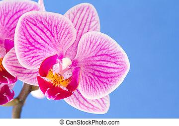 Phalaenopsis; moth orchid flower on blue background