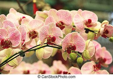 Phalaenopsis, moth orchid flowers