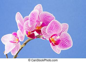 Phalaenopsis; moth orchid flowers on blue background